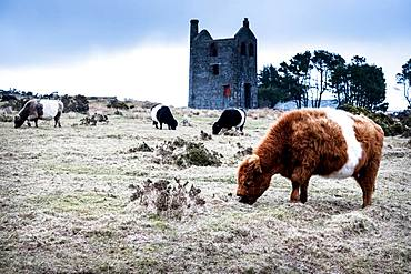 Herd of Galloway cattle grazing near a ruined tin mine engine house