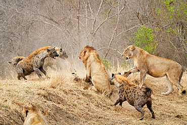 Spotted hyenas, Crocuta crocuta, attacking a pride of lions, Panthera leo, Londolozi Game Reserve, Sabi Sands, Greater Kruger National Park, South Africa