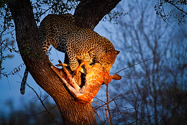 A leopard, Panthera pardus, stands in a tree at night, nyala kill in its mouth, Tragelaphus angasii, lit up by spotlight, Londolozi Game Reserve, Sabi Sands, Greater Kruger National Park, South Africa