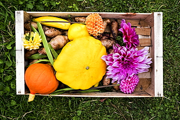 High angle close up of wooden box with fresh vegetables and cut pink Dahlias