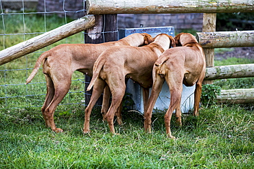 Rear view of three Viszla dogs drinking from a trough