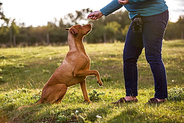 Woman training Vizla dog with a lifted paw sitting in a meadow