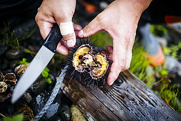 High angle close up of fisherman cutting open a piece of fresh uni, sea urchin, Japan