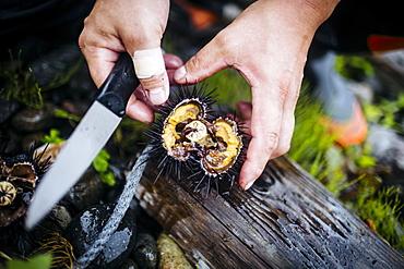 High angle close up of fisherman cutting open a piece of fresh uni, sea urchin, Japan