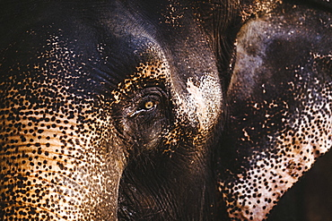 Close up of young Indian Elephant, India