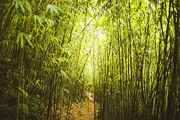View along narrow footpath through dense bamboo forest, Vietnam