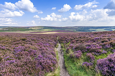 Footpath through fields of heather in the Peak District National Park. Moorland and view of the surrounding hills and landscape, United Kingdom