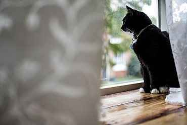 Close up of black cat sitting on window sill behind white curtain, looking through window, United Kingdom