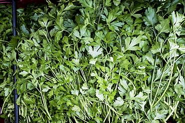 High angle close up of fresh Italian parsley, United Kingdom