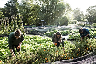 Three gardeners working in a vegetable bed, picking edible flowers, Oxfordshire, United Kingdom