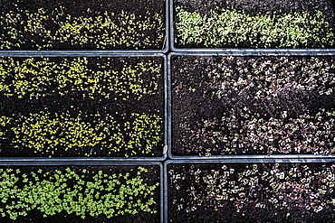 High angle close up of crates with a selection of freshly planted seedlings, Oxfordshire, United Kingdom