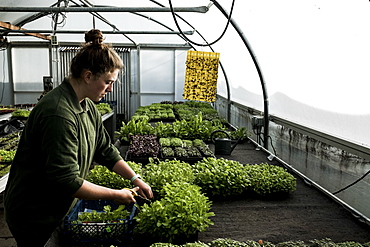 Female gardener standing in a greenhouse, cutting young vegetable plants with pair of scissors, Oxfordshire, United Kingdom