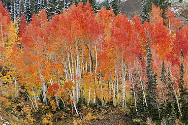 Maple and aspen trees in full autumn foliage in woodland, Wasatch Mountains, Utah, USA