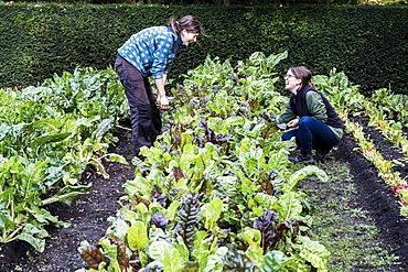 Two female gardeners kneeling in a vegetable bed in a garden, inspecting Swiss chard plants, Oxfordshire, United Kingdom