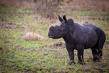 A white rhino calf, Ceratotherium simum, stands on green grass, covered in dark mud, looking out of frame, Sabi Sands, Greater Kruger National Park, South Africa
