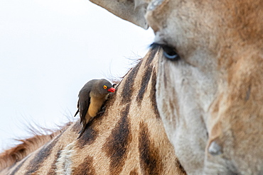 A red-billed oxpecker, Buphagus erythrorhynchus, sits on the neck of a giraffe, Giraffa camelopardalis giraffa, Sabi Sands, Greater Kruger National Park, South Africa