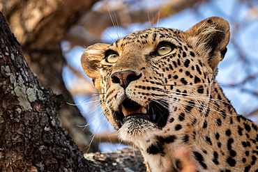 The head of a leopard, Panthera pardus, in a tree, mouth open, looking out of frame, Sabi Sands, Greater Kruger National Park, South Africa