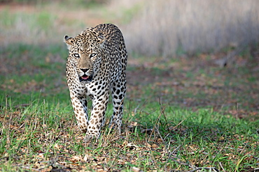 A male leopard, Panthera pardus, walks toward camera, direct gaze, mouth open, Londolozi Game Reserve, Greater Kruger National Park, South Africa