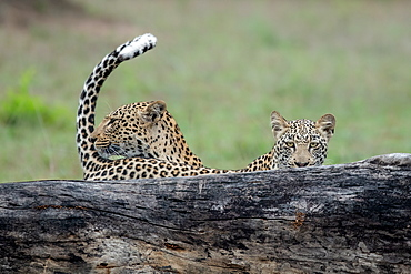 A mother leopard, Panthera pardus, and its cub stand behind a log, tail up, direct gaze, Londolozi Game Reserve, Greater Kruger National Park, South Africa