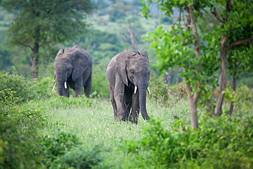Two African elephant, Loxodonta africana, walk through green vegetation, looking out of frame, Londolozi Game Reserve, Greater Kruger National Park, South Africa