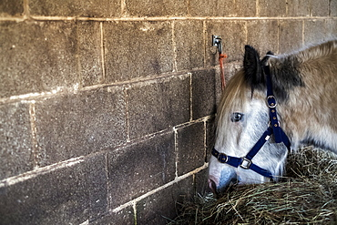 White Cob horse standing in stable, eating hay, Berkshire, United Kingdom