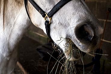 Close up of white Cob horse eating hay, Berkshire, United Kingdom
