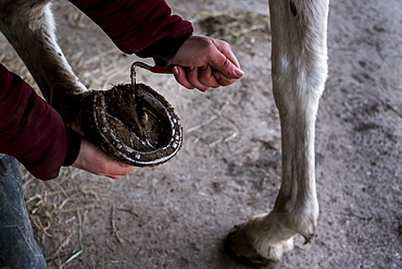 High angle close up of person cleaning hoof of white horse, Berkshire, United Kingdom
