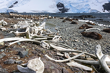 Whales bones strewn on the beach, and fur seals on the shore, South Shetland Islands, Antarctica