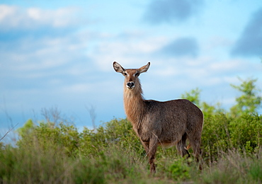 A waterbuck, Kobus ellipsiprymnus, stands against a blue sky background, direct gaze, Londolozi Game Reserve, Sabi Sands, South Africa