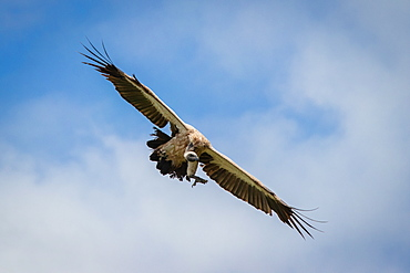 A white-backed vulture, Gyps africanus, flies with wings spread, mid air, against a blue sky with clouds, Londolozi Game Reserve, Sabi Sands, South Africa