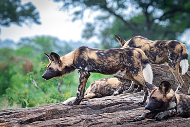 A pack of wild dog, Lycaonᅠpictus, stand a lie together, Londolozi Game Reserve, Sabi Sands, South Africa