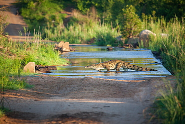 A nile crocodile, Crocodylus niloticus, as it walks across a river on a causeway, Londolozi Game Reserve, Sabi Sands, South Africa