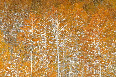 Snow on autumn on the foliage and branches of aspen trees in a national forest, Uinta Mountains, Utah, USA