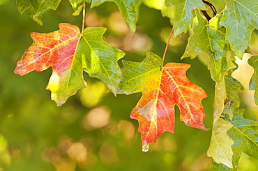 Vivid red and orange maple leaves in autumn, Wasatch Mountains, Utah, USA