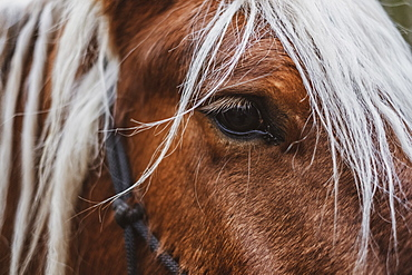Close up of brown Comtois horse with silver mane, Devon, United Kingdom