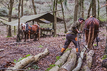 Logger and two work horses in a camp in a forest, Devon, United Kingdom
