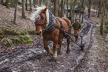 Logger driving work horse pulling a log forest, Devon, United Kingdom