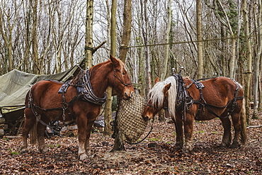 Two brown work horses standing in a forest, eating hay, Devon, United Kingdom