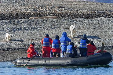 Female polar bear with a cub on a beach walking towards a Zodiac with passengers, Norway