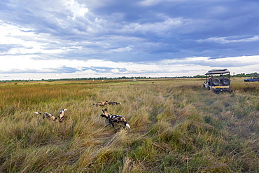 African wild dogs, Lycaon pictus in long grass, Moremi Game Reserve, Botswana