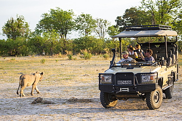 A lion close to a safari vehice with tourists out in the bush, Moremi Game Reserve, Botswana