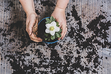 Person potting up small hellebore plant with white flower