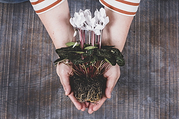 woman holding a white cyclamen plant with vibrant green leaves and roots