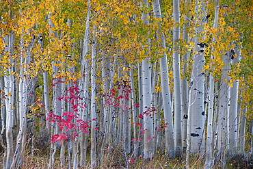 Maple and aspen trees in the national forest of the Wasatch mountains. White bark and slender tree trunks, Wasatch National Forest, Utah, USA