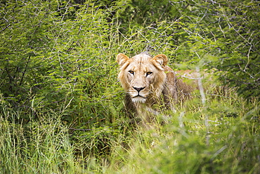 A female lion partially hidden in long grass
