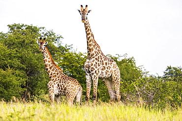giraffe, Nxai Pan, Botswana