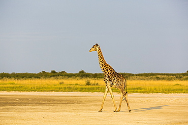 A giraffe crossing open ground at a salt pan
