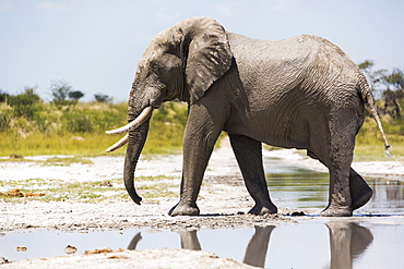 An elephant with tusks by a water pool on Nxai Pan slat pan