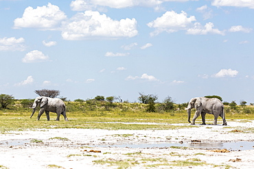 Two elephants in Nxai Pan, Botswana