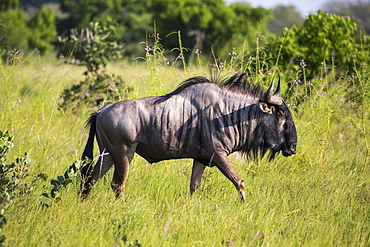 A wildebeest in long grass